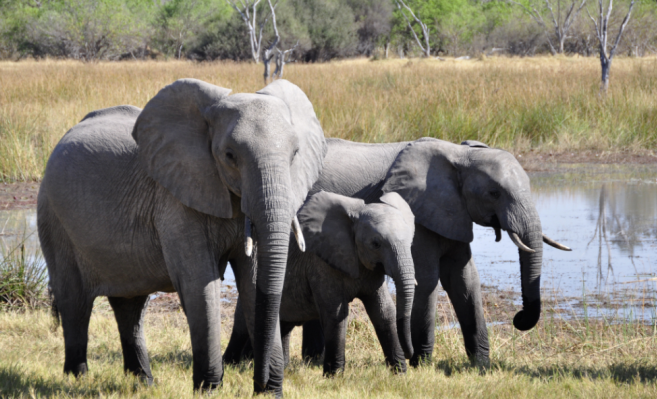 350 Elephants killed in Botswana, South Africa- Mystery Resolved By Scientists ?