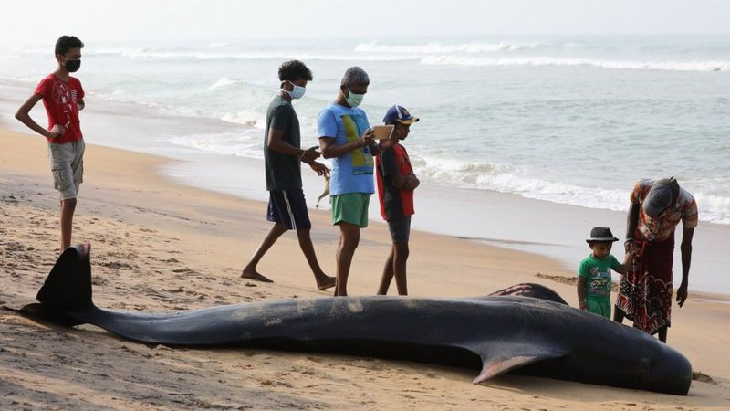 Great News Coming in From Sri lanka - Rescuers Rush to Save Beached Pilot Whales