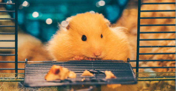 Want To Keep Hamsters as Pets ? - Check Out The Pros & Cons